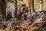 bear-photo-tour-slovenia